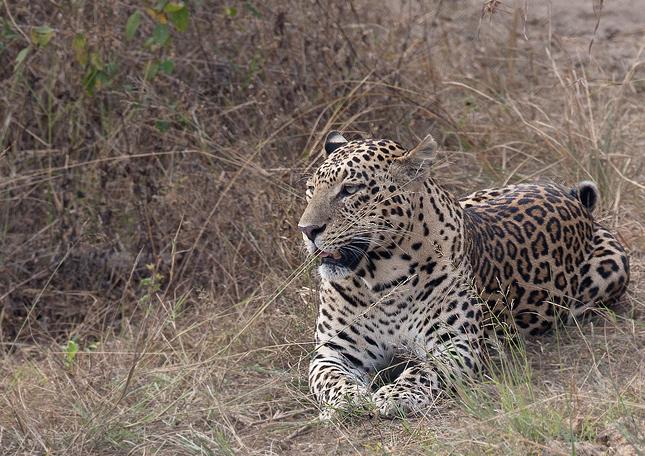 Leopard-cl-02