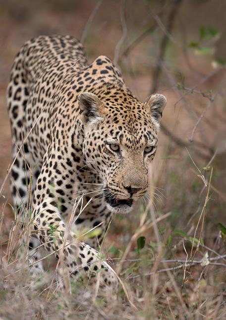 Leopard-cl-05