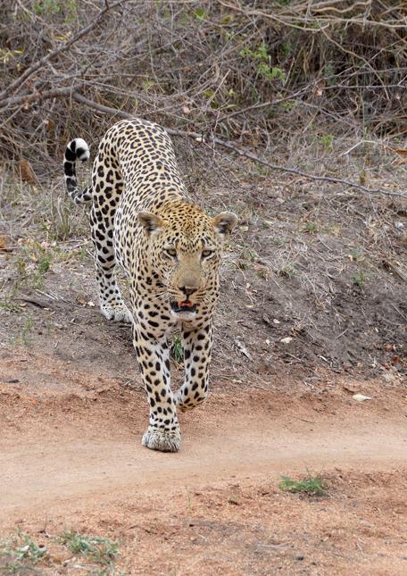 Leopard-cl-06
