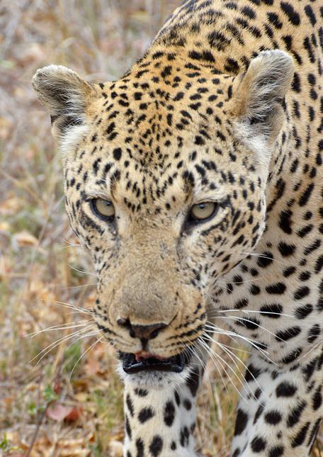 Leopard-cl-07
