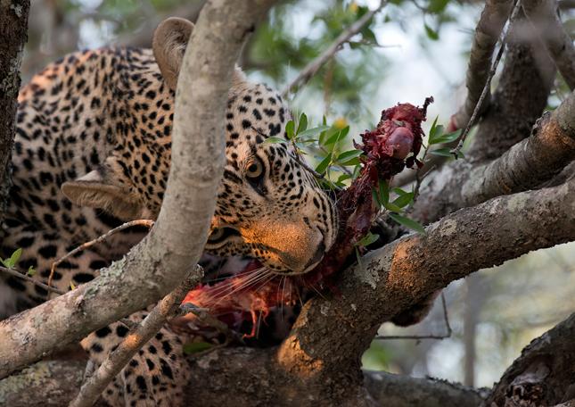 Leopard-cl-12