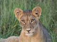 Svačinka se lvy
