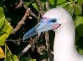 Terejové na Galapágách