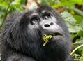 Chystáte se za horskými gorilami ?