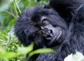 Setkání s horskými gorilami