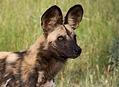 Zběsilá jízda za psy hyenovitými