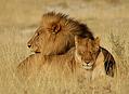Co jste možná o lvech nevěděli I.