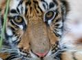 Rendezvous s bengálským tygrem