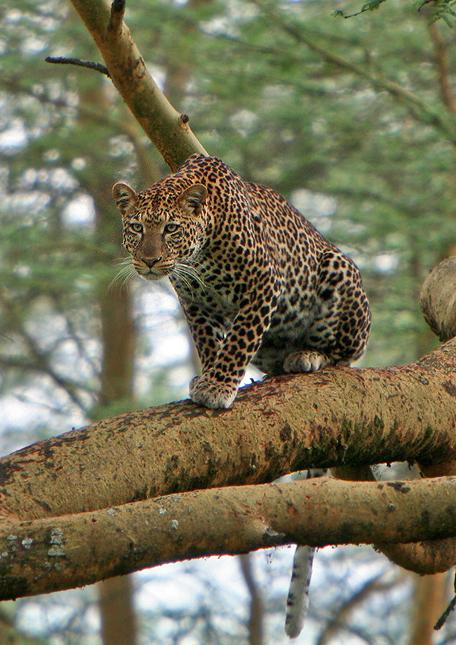 Leopard-cl-03