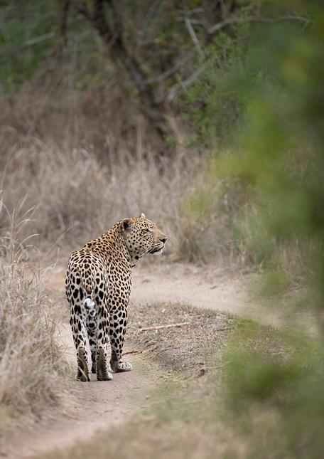Leopard-cl-08