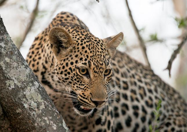 Leopard-cl-10