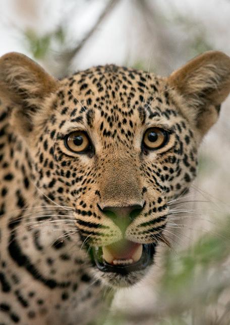 Leopard-cl-13
