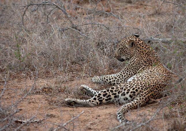 Leopard-cl-14
