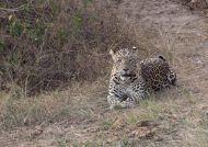 Levhart indický (Panthera pardus fusca)