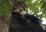 Zoborožec přilbový (Rhyticeros cassidix)