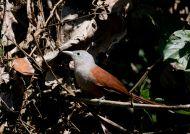 Kukačka rezavá (Phaenicophaeus chlorophaeus)