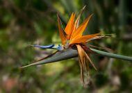 Strelicie královská (Strelitzia reginae)