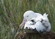 Albatros stěhovavý (Diomedea exulans)