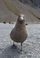 Chaluha subantarktická (Catharacta lonnbergi)