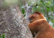 Kahau nosatý (Nasalis larvatus)