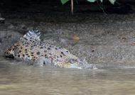 Krokodýl mořský (Crocodylus porosus)