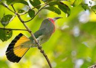 Vlha červenobradá (Nyctyornis amictus)