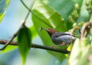 Krejčiřík šedý (Orthotomus ruficeps)