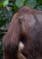 Orangutan bornejský (Pongo pygmaeus)