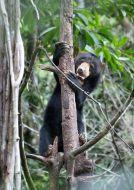 Medvěd malajský bornejský (Helarctos malayanus)